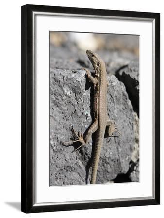 Lizard, La Palma, Canary Islands, Spain, 2009-Peter Thompson-Framed Photographic Print