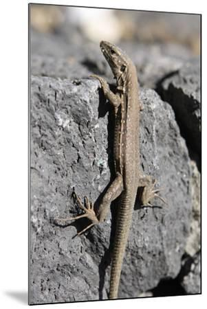 Lizard, La Palma, Canary Islands, Spain, 2009-Peter Thompson-Mounted Photographic Print