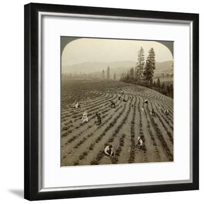 Strawberry Picking, Cedar Creek Farm, Hood River Valley, Oregon, Usa-Underwood & Underwood-Framed Photographic Print