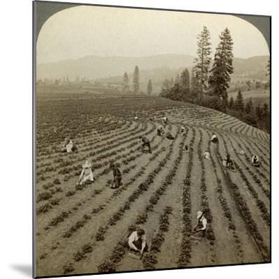 Strawberry Picking, Cedar Creek Farm, Hood River Valley, Oregon, Usa-Underwood & Underwood-Mounted Photographic Print