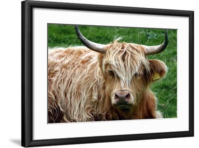 Highland Cattle, Scotland-Peter Thompson-Framed Photographic Print
