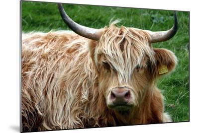 Highland Cattle, Scotland-Peter Thompson-Mounted Photographic Print