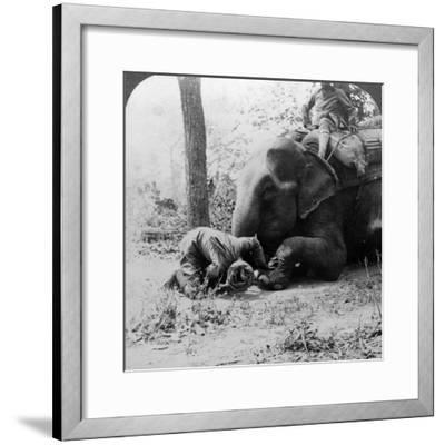 Mahout Removing a Thorn from an Elephant's Foot, Behar Tiger Shoot, India, C1900s-Underwood & Underwood-Framed Photographic Print