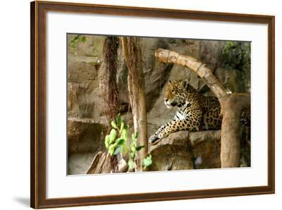 Jaguar, Loro Parque, Tenerife, Canary Islands, 2007-Peter Thompson-Framed Photographic Print