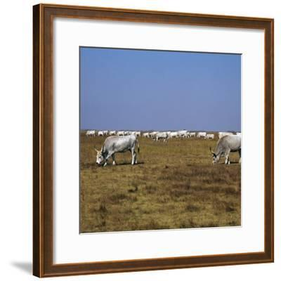 Hungarian White Cattle-CM Dixon-Framed Photographic Print