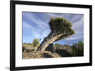 Dragon Tree, La Palma, Canary Islands, Spain, 2009-Peter Thompson-Framed Photographic Print