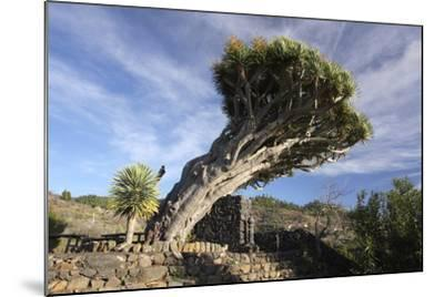 Dragon Tree, La Palma, Canary Islands, Spain, 2009-Peter Thompson-Mounted Photographic Print