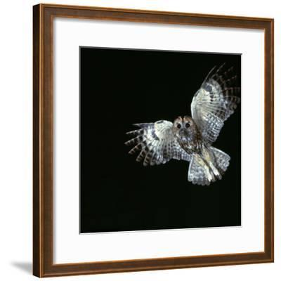 Tawny Owl in Flight-CM Dixon-Framed Photographic Print