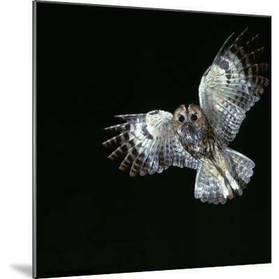 Tawny Owl in Flight-CM Dixon-Mounted Photographic Print