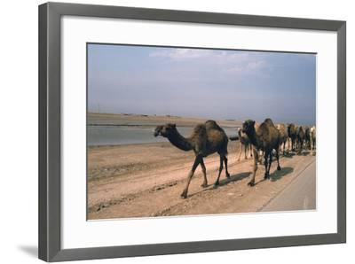 Camel Train Travelling on a Road Alongside the Euphrates Near Nasiriya, Iraq, 1977-Vivienne Sharp-Framed Photographic Print