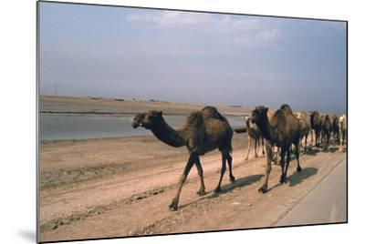 Camel Train Travelling on a Road Alongside the Euphrates Near Nasiriya, Iraq, 1977-Vivienne Sharp-Mounted Photographic Print