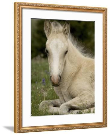 Mustang / Wild Horse Filly Portrait, Montana, USA Pryor Mountains Hma-Carol Walker-Framed Photographic Print