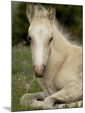 Mustang / Wild Horse Filly Portrait, Montana, USA Pryor Mountains Hma-Carol Walker-Mounted Photographic Print