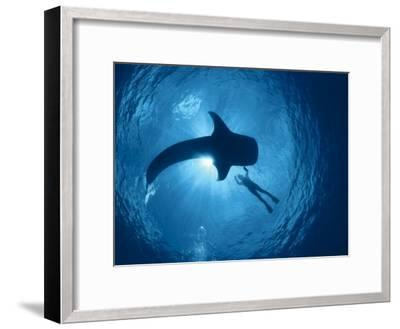 Whale Shark and Person Swimming in Silhouette, Indo Pacific-Jurgen Freund-Framed Photographic Print