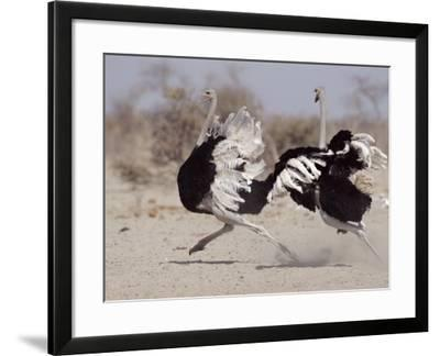 Two Male Ostriches Running During Dispute, Etosha National Park, Namibia-Tony Heald-Framed Photographic Print