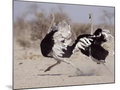 Two Male Ostriches Running During Dispute, Etosha National Park, Namibia-Tony Heald-Mounted Photographic Print