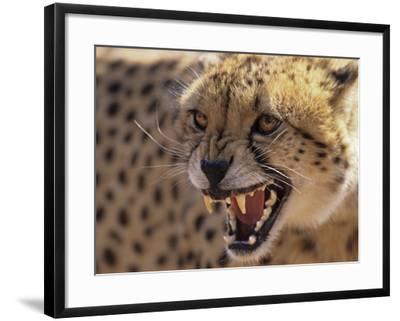 Cheetah Snarling (Acinonyx Jubatus) Dewildt Cheetah Research Centre, South Africa-Tony Heald-Framed Photographic Print