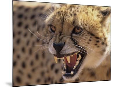 Cheetah Snarling (Acinonyx Jubatus) Dewildt Cheetah Research Centre, South Africa-Tony Heald-Mounted Photographic Print