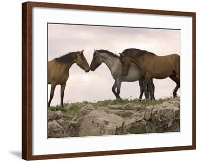 Mustang / Wild Horse Red Dun Stallion Sniffing Mare's Noses, Montana, USA Pryor-Carol Walker-Framed Photographic Print