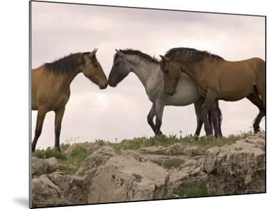 Mustang / Wild Horse Red Dun Stallion Sniffing Mare's Noses, Montana, USA Pryor-Carol Walker-Mounted Photographic Print