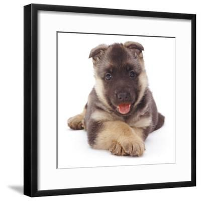 German Shepherd Dog Alsatian Puppy Lying with Paws Crossed-Jane Burton-Framed Photographic Print