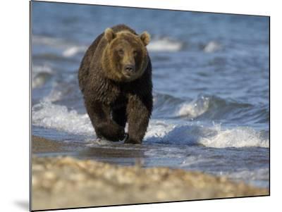 Brown Bear Beside Water, Kronotsky Nature Reserve, Kamchatka, Far East Russia-Igor Shpilenok-Mounted Photographic Print