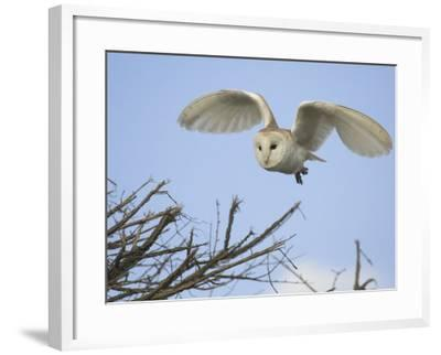 Barn Owl Hunting Along Roadside Hedge, Norfolk, UK-Gary Smith-Framed Photographic Print