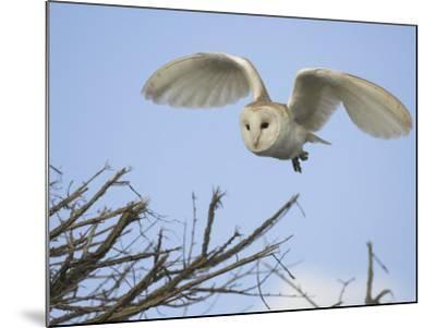 Barn Owl Hunting Along Roadside Hedge, Norfolk, UK-Gary Smith-Mounted Photographic Print