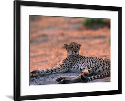 Cheetah Resting, Okavango Delta, Botswana-Pete Oxford-Framed Photographic Print
