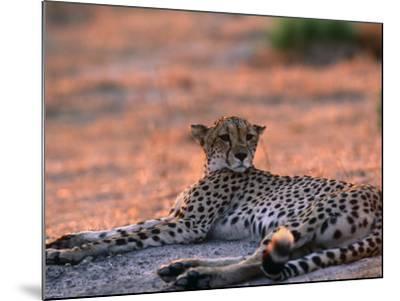 Cheetah Resting, Okavango Delta, Botswana-Pete Oxford-Mounted Photographic Print