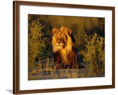 Lion Male, Kalahari Gemsbok, South Africa-Tony Heald-Framed Photographic Print
