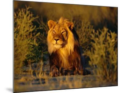 Lion Male, Kalahari Gemsbok, South Africa-Tony Heald-Mounted Photographic Print