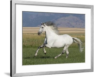 Grey Andalusian Stallion Running in Field, Longmont, Colorado, USA-Carol Walker-Framed Photographic Print