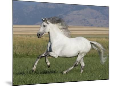 Grey Andalusian Stallion Running in Field, Longmont, Colorado, USA-Carol Walker-Mounted Photographic Print