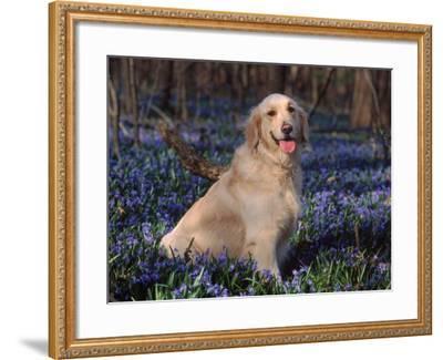 Golden Retriever (Canis Familiaris) Among Bluebells, USA-Lynn M^ Stone-Framed Photographic Print