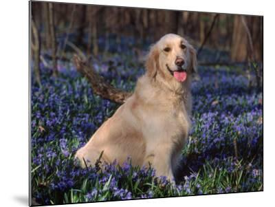 Golden Retriever (Canis Familiaris) Among Bluebells, USA-Lynn M^ Stone-Mounted Photographic Print