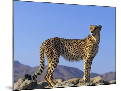 Portrait of Standing Cheetah, Tsaobis Leopard Park, Namibia-Tony Heald-Mounted Photographic Print