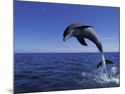 Bottlenose Dolphin Leaping, Bahamas-John Downer-Mounted Photographic Print