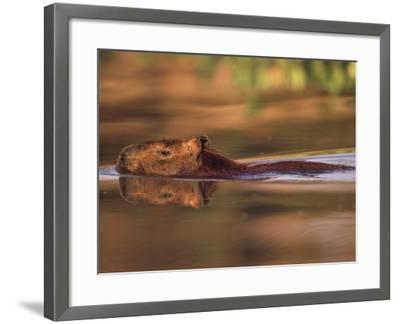 Capybara Swimming, Pantanal, Brazil-Pete Oxford-Framed Photographic Print