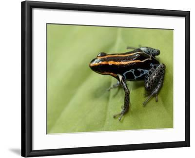 Poison Arrow Frog, Yasuni National Park, Ecuador-Pete Oxford-Framed Photographic Print