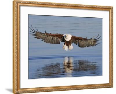 African Fish Eagle Fishing, Chobe National Park, Botswana-Tony Heald-Framed Photographic Print