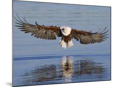 African Fish Eagle Fishing, Chobe National Park, Botswana-Tony Heald-Mounted Photographic Print
