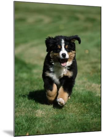 Bernese Mountain Puppy Running-Petra Wegner-Mounted Photographic Print