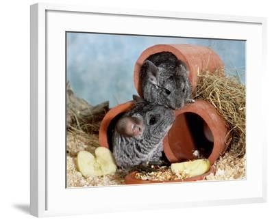 Long-Tailed Chinchillas at Play-Steimer-Framed Photographic Print
