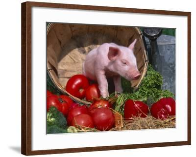 Domestic Piglet, in Bucket with Apples, Mixed Breed, USA-Lynn M^ Stone-Framed Photographic Print