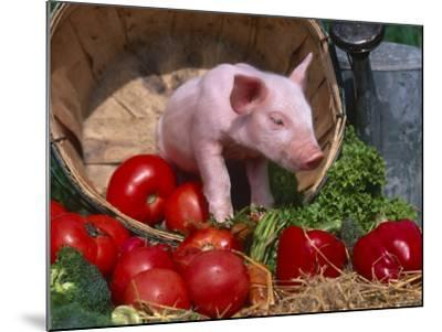 Domestic Piglet, in Bucket with Apples, Mixed Breed, USA-Lynn M^ Stone-Mounted Photographic Print