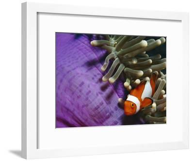 False Clown Anemonefish in Anemone Tentacles, Indo Pacific-Jurgen Freund-Framed Photographic Print