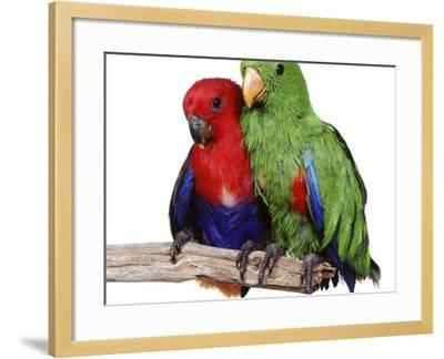 Young Eclectus Parrots, Female Left, Male Right, 12-Wks-Old-Jane Burton-Framed Photographic Print