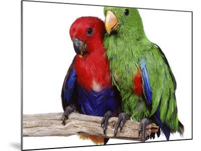 Young Eclectus Parrots, Female Left, Male Right, 12-Wks-Old-Jane Burton-Mounted Photographic Print