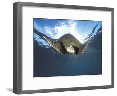 Green Turtle Swimming, Sulu-Sulawesi Seas, Indo Pacific Ocean-Jurgen Freund-Framed Photographic Print